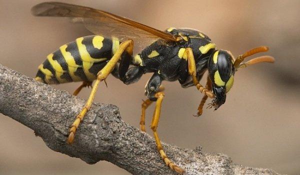 dezinsectie viespi